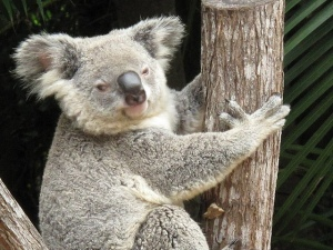 Koala by marragem
